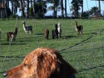 The alpaca came to visit